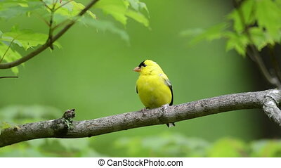 Goldfinch perched on a branch - A goldfinch perched on a...