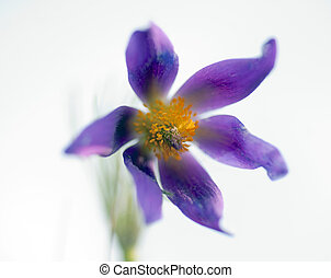 Pasque flower - close up of purple pasque flower on bright...