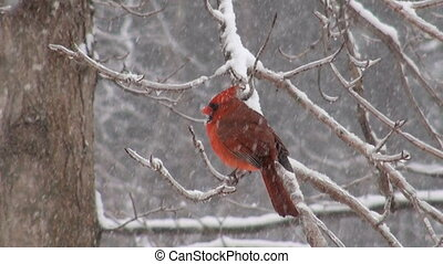 Northern Cardinal in a snowstorm - Cardinal perched on a...