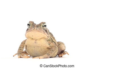 Toad on white - Toad sitting on a white background
