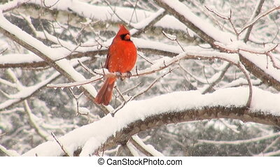 Cardinal in a snowstorm - Cardinal perched on a branch...