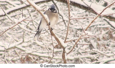Blue Jay in a snowstorm - Blue Jay perched on a branch...