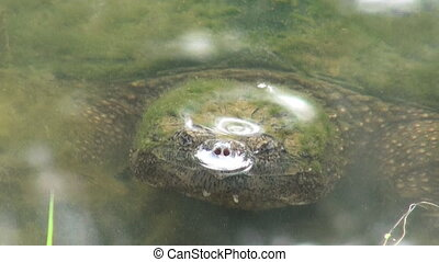 Snapping turtle below the surface - A snapping turtle sits...