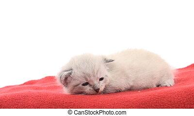 Kitten on red blanket - Cute newborn kitten lying down on...
