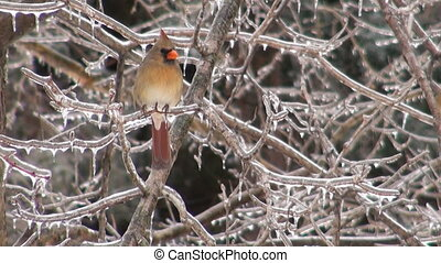 Cardinal in heavy snowstorm - Cardinal perched on a branch...