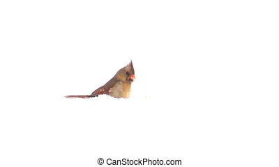 Cardinal in the snow - Northern cardinal sitting in the snow...