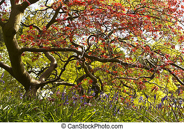 Japanese Maple with attractive leaf shapes and colors
