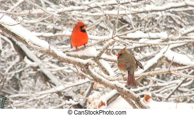 Cardinals in a snowstorm - Cardinal perched on a branch...
