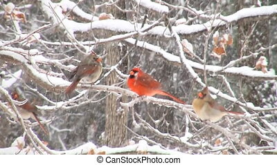Slow motion cardinal in snowstorm - Slow motion clip of...