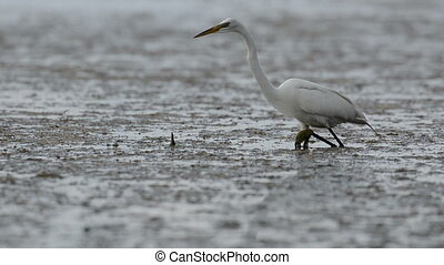 Great Egret - Great egret searches for a meal in a Florida...