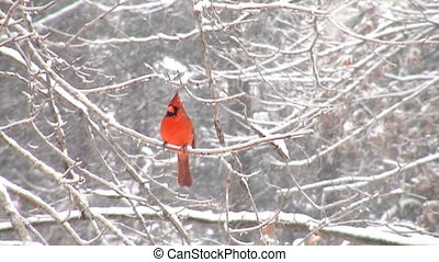 Cardinal in slow motion - Slow motion clip of northern...
