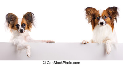 Papillon Dog - Two dog of breed papillon isolated on a white...