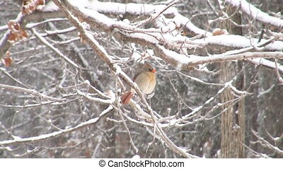 Cardinal in snow motion - Slow motion clip of northern...