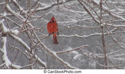 Cardinal and snowstorm - Cardinal perched on a branch during...