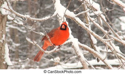 Cardinal on a branch - Cardinal perched on a branch during a...