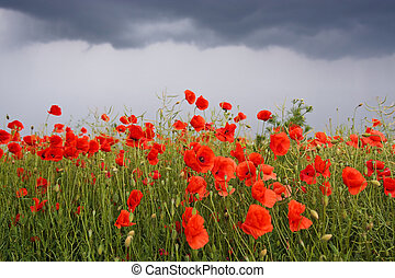 Field of poppies with storm clouds on background