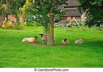 Sheeps - Sheep are grazing in the backyard in a small Swiss...