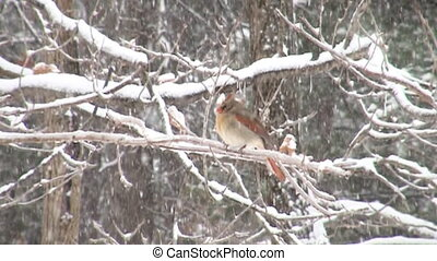 Snow motion cardinal - Slow motion clip of northern cardinal...