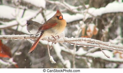 Slow motion cardinal - Slow motion clip of northern cardinal...