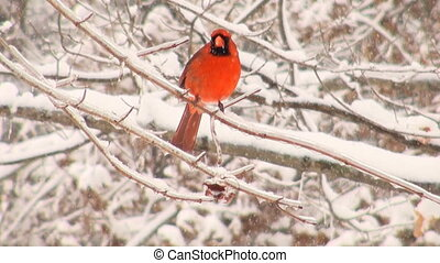 Cardinal perched on a branch during a heavy winter storm