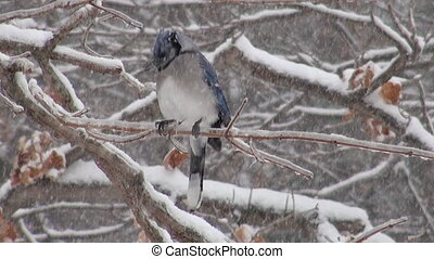 Blue jay perched on a branch during a heavy snowstorm