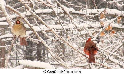 Cardinals in snowstorm - Cardinal perched on a branch during...