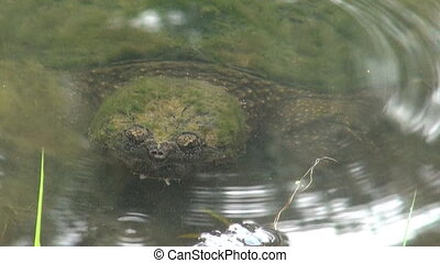 Snapping turtle in a pond - A snapping turtle sits just...