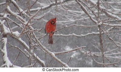 Northern Cardinal in a snowstorm