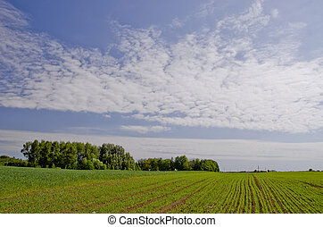 Agricultural green field with winter crops.