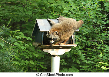 Racoon  - A racoon raiding a bird feeder in early morning