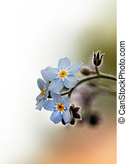 Forget-me-not - Close up of bunch of forget-me-not