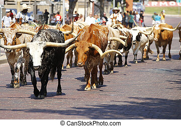 Longhorns - Longhorn cattle are walked on a Texas street