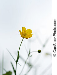 Buttercup - Close up of yellow buttercup on bright sky