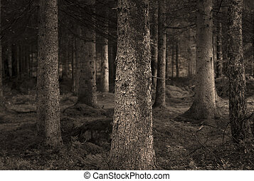 sepia forest - Spooky forest with conifers in sepia