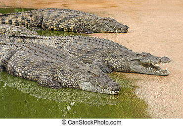 Three African nile crocodiles resting next to water