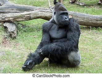 Gorilla - Male Gorilla