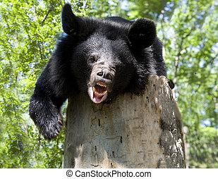 Himalaya bear