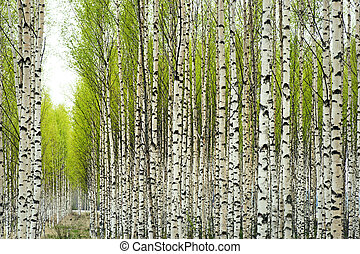 Birch trees in spring - Birch trees with fresh green leaves...