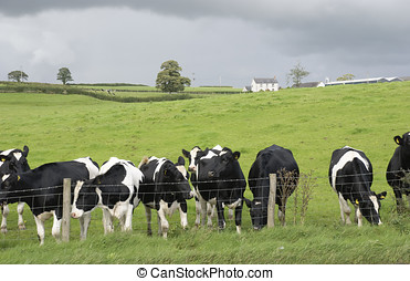 Dairy farm black and white cows - English dairy farm black...