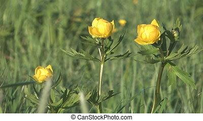 Globeflower.