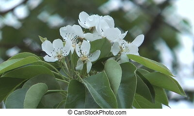 Spring pear-tree. - Pear twig with leaves and flowers.