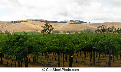 vine yard in barossa valley, australia, with cloudy sky and...
