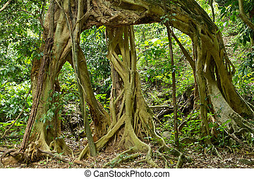 large fig tree roots