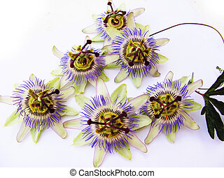 Passiflora - Passion flowers in a close up, isolated in...