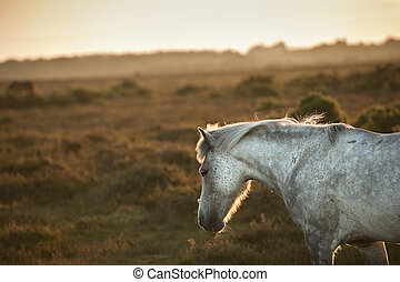 Close up of New Forest pony bathed in warm glowing sunrise...