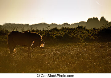 Stunning warm glow image of New Forest pony at sunrise...