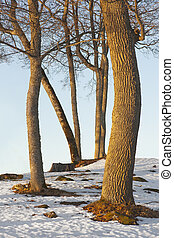 bare tree trunks - Bare tree trunks in winter afternoon...