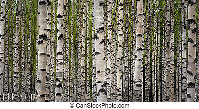 Birch trees - Grove of birch trees with green leaves in...