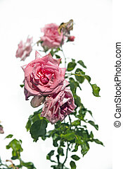 Pink rose and greeen leaves on white background