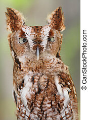 Eastern Screech-Owl (Megascops asio) - Close-up of an...